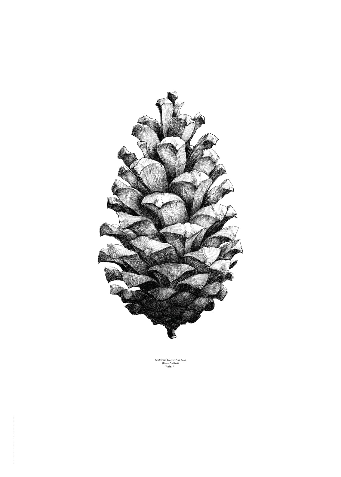 Pine Cone Illustration Paper Collective, Pine...