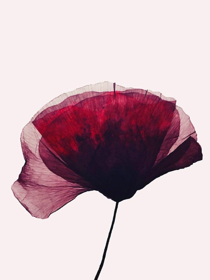 Ida Lærke - Exposed poppy